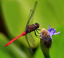 Red Skimmer at Rest by Ann  Van Breemen