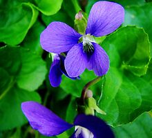 Tiny Wild Violets by Tricia Stucenski