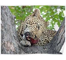 Dinner time - Leopard eating her kill up a tree Poster