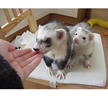 ferrets waiting to be fed.... Photographic Print
