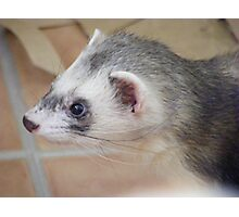Georgie ferret - look at those whiskers! Photographic Print
