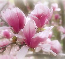 Magnolias by Sandy Keeton