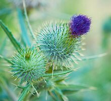 Thistle by Tracy Jones