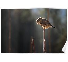 Pygmy Owl 4: Hunting Poster