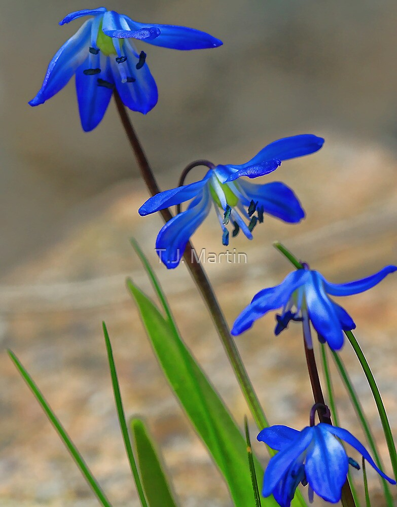 Blue Spring Beauty - Bridgton,  Maine by T.J. Martin