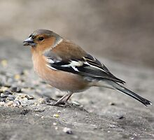 Chaffinch  by David Bass