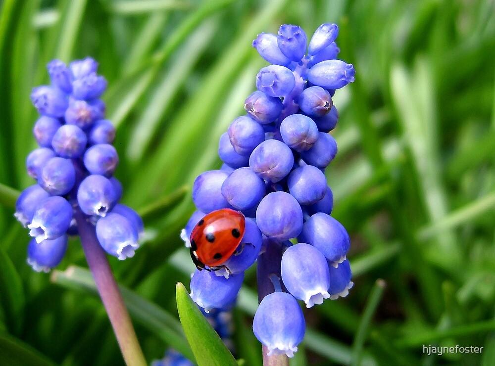 Grape Hyacinth & visiting ladybird by hjaynefoster