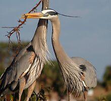 Herons Working as a Team by Laurel Haarer