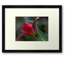 Tulip - Just Before Sunset -- Bridgton,  maine Framed Print