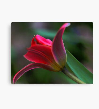 Tulip - Just Before Sunset -- Bridgton,  maine Canvas Print