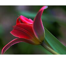 Tulip - Just Before Sunset -- Bridgton,  maine Photographic Print