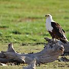 Fish Eagle by Angela1