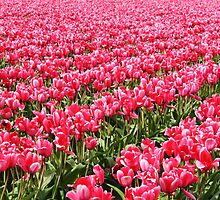 Acres of Pink Tulips by skreklow