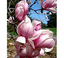 Magnolia Bloom Photographic Print