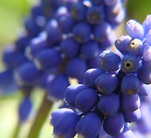Grape Hyacinth by vigor