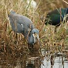Tri-Color Heron 2 by Howard & Rebecca Taylor