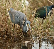 Tri-Color Heron 2 by H & B Wildlife  Nature Photography