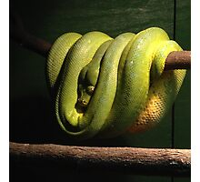 Green Tree Python Photographic Print
