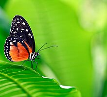Butterfly 2 by Scapevision