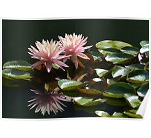 Pink Waterlily in Morning Poster