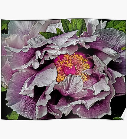 In the Eye of the Peony Poster