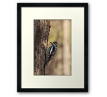 Woodpecker waiting to peck Framed Print