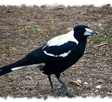 Our Little Aussie Magpie by Elaine Game
