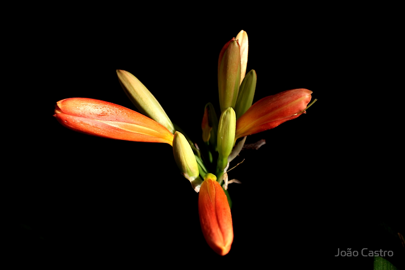 Oranje flower 6168 by João Castro