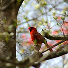 Carolina Cardinal by Darlene Lankford Honeycutt