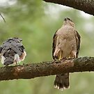 Cooper's Hawk Pair by Daniel  Parent