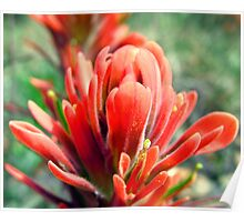 Indian Paintbrush in Red Poster