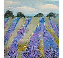 Fields of Lavender Photographic Print