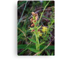 Red Beak Orchid (Pterostylis sanguinea) Canvas Print