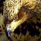 Young Eagle Portrait by lanebrain photography