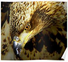 Young Eagle Portrait Poster