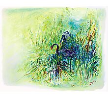 Black Swans -Tamar Valley, Tasmania Photographic Print