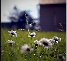 Sunlit Daisies by Lauren Neely