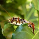 Weta, native New Zealand grasshopper by Barbara Caffell