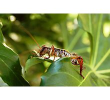 Weta, native New Zealand grasshopper Photographic Print