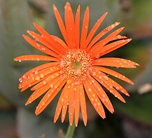 Flower after rain by jozi1