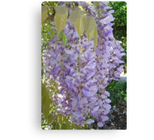 Wisteria Racemes Canvas Print
