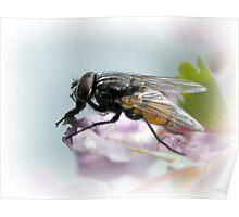 Diptera Poster