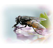 Diptera Photographic Print