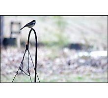 Black Capped Chickadee Photographic Print