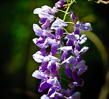 wisteria blooms by Phillip M. Burrow