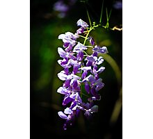 wisteria blooms Photographic Print