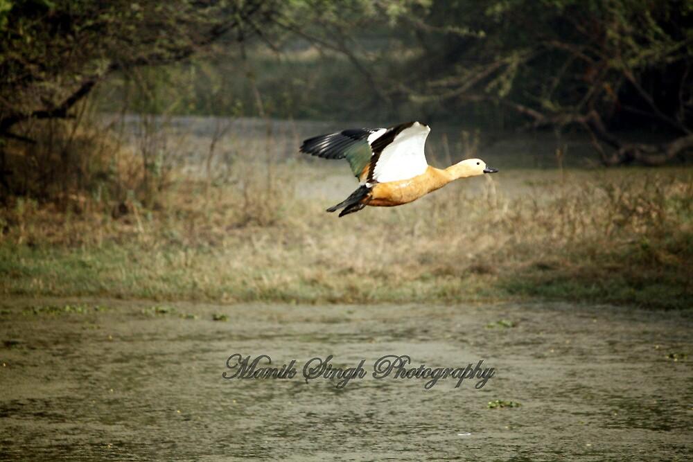 Flying Duck by Manik Singh