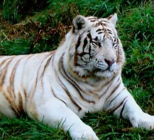 White Tiger    ^ by ctheworld