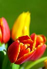 Colourful Tulips, and creative blur by buttonpresser