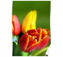 Colourful Tulips, and creative blur Poster